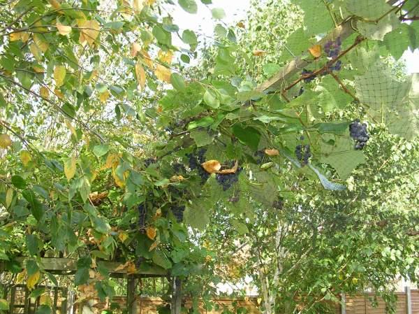 Hanging grape vine