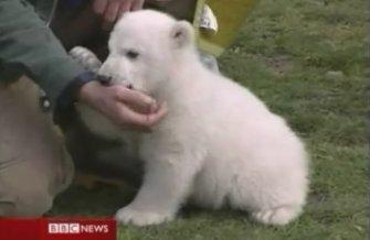 Knut the orphaned polarbear