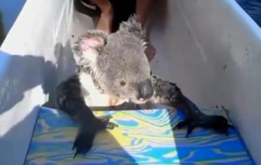 Koala in canoe